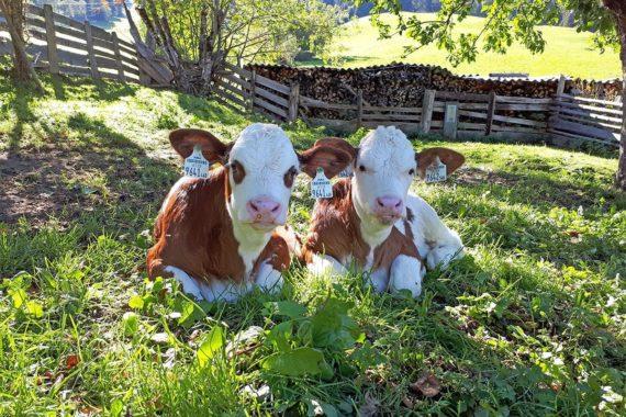 Tiere am Bio-Bergbauernhof Maurachgut in Bad Hofgastein